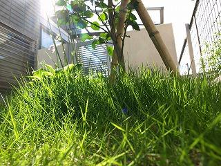 伸びてきた芝